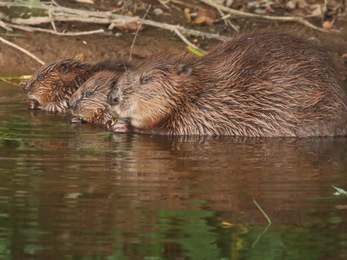 Devon Wildlife Beaver female with kits © Mike Symes
