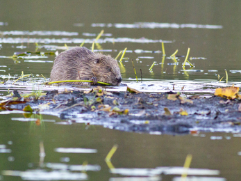 The Scottish Wildlife Trust beaver © Steve Gardner