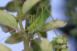 Oak Bush-cricket
