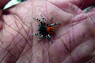Ladybird Spider © James Hitch