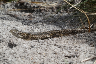 Sand lizard © James Hitchen