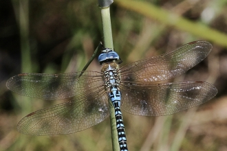 Southern Migrant Hawker © Hamish Murray