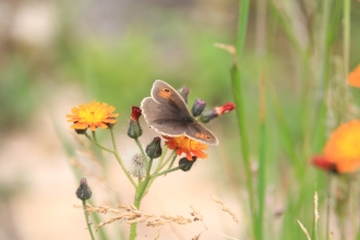 Meadow brown in garden © Katie Wilkinson