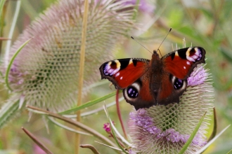 Peacock butterfly on Teasel © Jane Adams