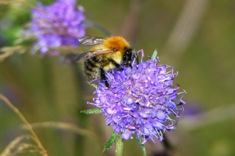 Common carder bee on Devil's-bit scabious © Jane Adams