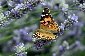 Painted Lady © Jim Higham