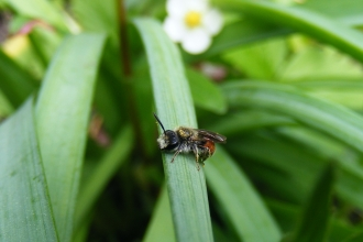 Red-girdled mining bee - Andrena labiata (male) © Jane Adams