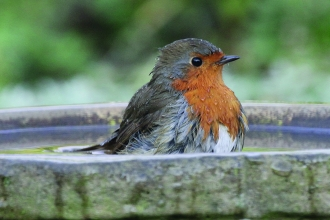 robin in bird bath © Ken Dolbear MBE