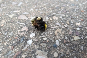 Dead bee on tarmac © Cat Bolado