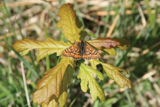 Marsh fritillary on Bracketts Coppice © Errin Skingsley