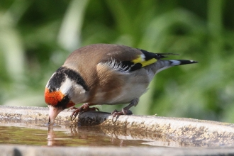 Goldfinch © Steve Davis