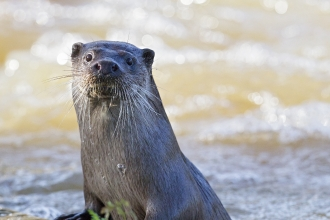 Otter by Paul Williams
