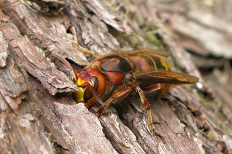 Hornet © Margaret Holland