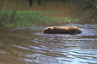 Beaver in the water by Dorset Wildilfe Trust/James Burland