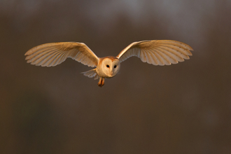 Photo: Barn owl in flight, at sunset. By Andy Rouse/2020VISION