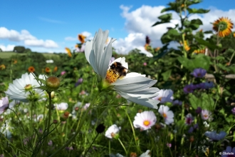 Bee on flower at Kingcombe © Cat Bolado