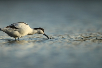Avocet (Recurvirostra avosetta) feeds on a lagoon, Dorset, UK © Luke Massey/2020VISION