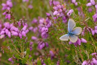 Silver-studded blue butterfly (Plebeius argus) worn male at rest on bell heather (Erica cinerea). © Chris Gomersall/2020VISION