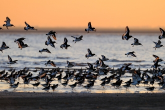 Oystercatchers © David Tipling/2020VISION