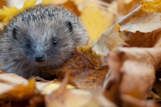 Hedgehog in autumn leaves (captive, rescue animal)