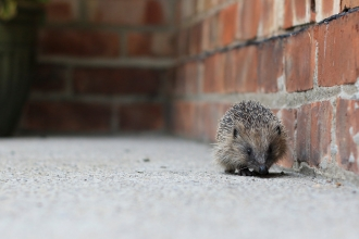 Hedgehog ©Tom Marshall