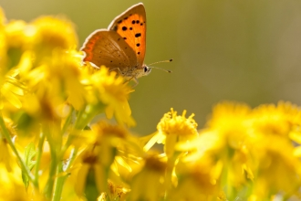 Small copper {Lycaena phlaeas} butterfly feeding on common ragwort {Senecio jacobaea}, Dorset, UK © Ross Hoddinott/2020VISION