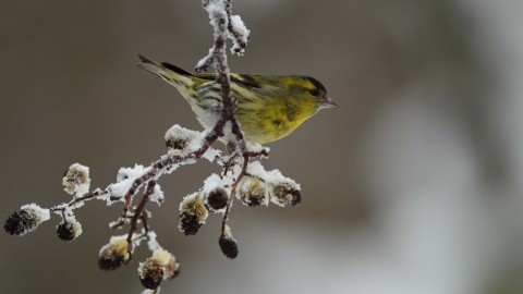 Male Siskin on Alder