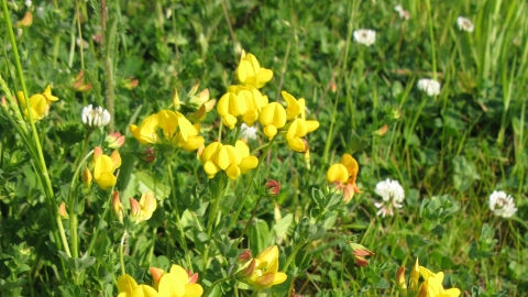 Common Bird's-foot-trefoil