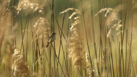 Sedge Warbler in Common Reed