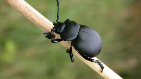 Bloody-nosed Beetle