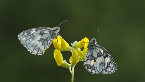 Marbled White butterflies on Meadow Vetchling