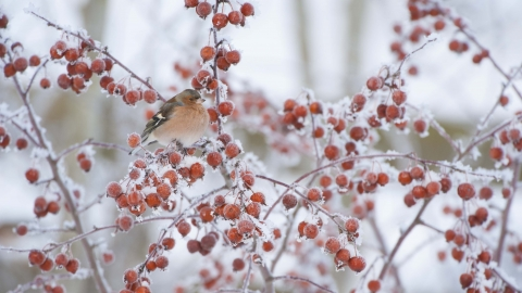 Chaffinch in Crab Apple tree