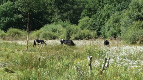 Grazing cattle at Bugden's Meadow
