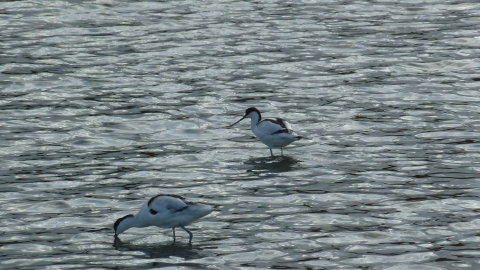 Avocet © Andy Fale