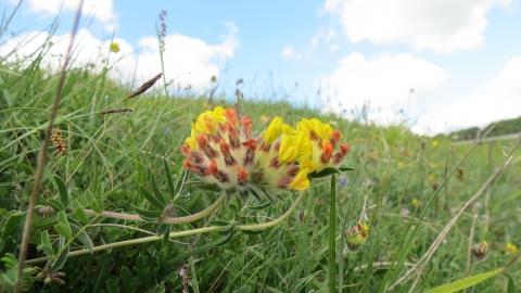 Kidney Vetch at Fontmell © Neil Gibson