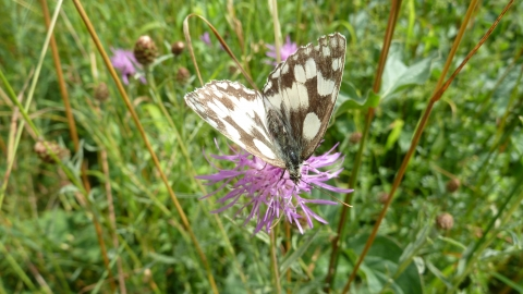 Marbled White at Sovell Down © Andy Fale