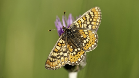 Marsh Fritillary © Ross Hoddinott/2020VISION
