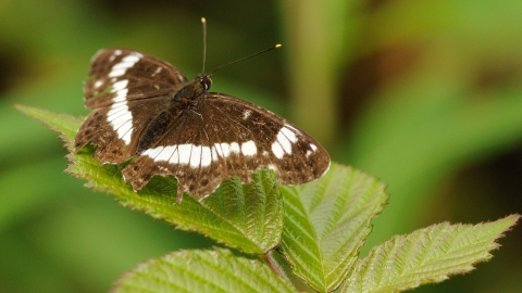 White admiral © Amy Lewis