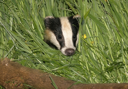 Badger Copyright Wild Stock