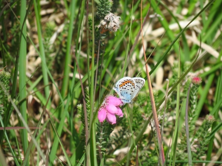 Silver-studded blue © Neil Gibson