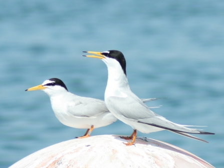 Little terns at Ferrybridge near Chesil © Angela Thomas