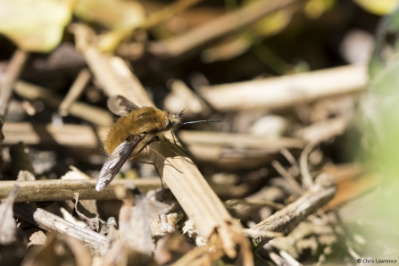 Dark edged bee fly © Chris Lawrence