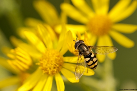 Hoverfly © Ross Hoddinott/ 2020VISION