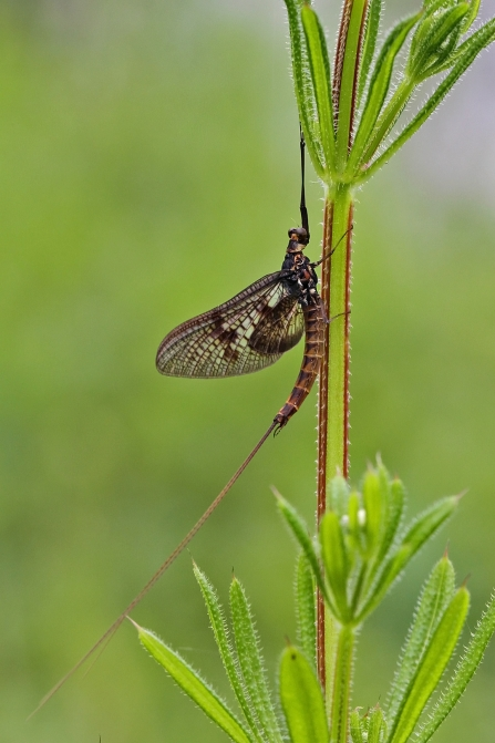 Mayfly © Margaret Holland