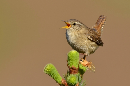 Wren © Andy Rouse/ 2020VISION