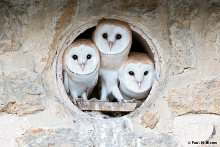Barn Owls at Lorton Meadows Nature Reserve © Paul Williams