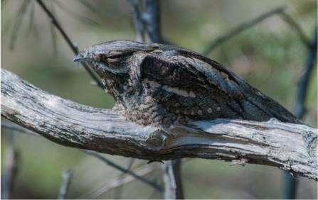 Nightjar on Brownsea Island by Nicki Tutton
