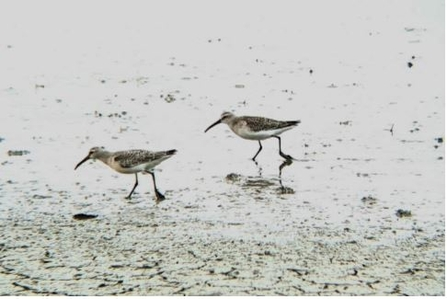 Curlew sandpiper on the Brownsea Island Lagoon by Nicki Tutton