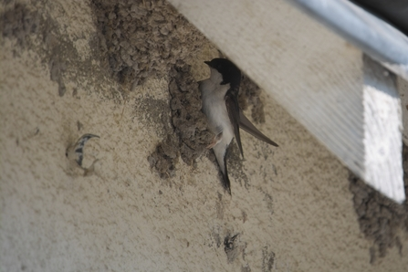 Photo - house martin in nest under roof