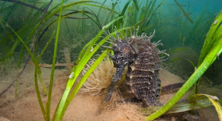 Spiny Seahorse In Seagrass. Dorset © Alexander Mustard/2020VISION
